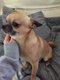 Chihuahua pour saillie