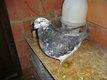 Pigeon Mâle  X  king   hubel