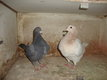 Couple pigeon Texan