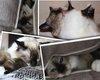Chatons Sacre de Birmanie 4 petits mâles