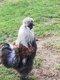 Coq nègre soie
