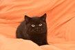Magnifiques chatons british shorthair à réserver