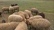 Moutons roux d'ardenne