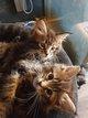 Magnifiques chatons Maine Coon, de la graine de...
