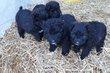 Magnifique chiots bouvier des Flandres noirs...