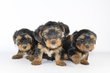 Yorkshire Terrier Chiots  - 100 % Belge
