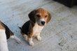 Beagle chiot mâle et femelle disponible