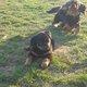 2 femelles rottweiler , élevées en famille