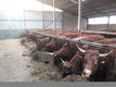 Génisses et vaches Salers