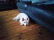 Magnifique chiot femelle Berger blanc Suisse