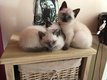 Adorables chatons siamois disponibles