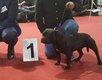 Staffordshire bull terrier , staffie