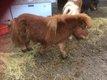 Poney shetland 12 ans en ordre