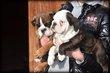 Chiots Bulldog Anglais blanc gris noir brun