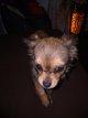 Chihuahua femelle fauve charbonnée poil long