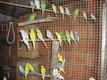 Cinq perruches ondulées femelles