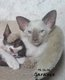 Magnifiques chatons siamois disponibles