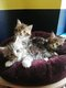 Maine coon chatons
