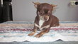 Maman chihuahua choco de 3 ans stirilisée et un...