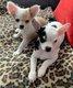 3 petits chiots chihuahua