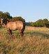 Paint Horse poulain grullo