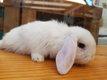 BB lapins bélier nains