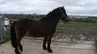 Grand poney hongre