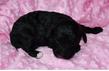 Chiot caniche mâle noir à réserver