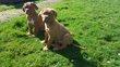 Magnifique Dogue de Bordeaux