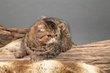 Belle femelle exotic shorthair