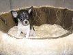 Superbes chiots Chihuahua