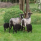 Mouton rustique Heidschnucke