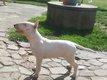 Femelle Bull Terrier Blanche Standard