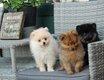 Chiots Pomeranian / spitz nains