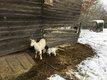 Chèvre blanche avec son chevreau