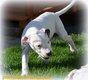 Magnifiques chiots dogues argentins disponibles à...