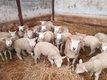 Texel, brebis et agneaux