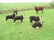 Moutons zwartbles