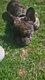 Bouledogue français merle brun porteur de fauve