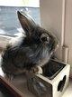 Bébés lapins nains