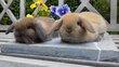 Jeunes lapins nains nés à la maison