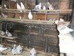 Lots de +-50 pigeons tous genres
