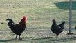 Poule Marans noir cuivré