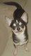 Chihuahua of tierras calientes à poils courts à...