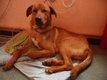 Grand chien roux de 11 mois à donner