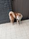 Akita inu  6 mois avec pedigree