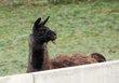 2 lamas mâle castré et femelle