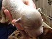 Magnifique petit chiot Chihuahua avec pédigrée