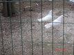 Pigeon de cour