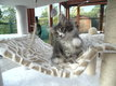 Superbes chatons  maine-coon